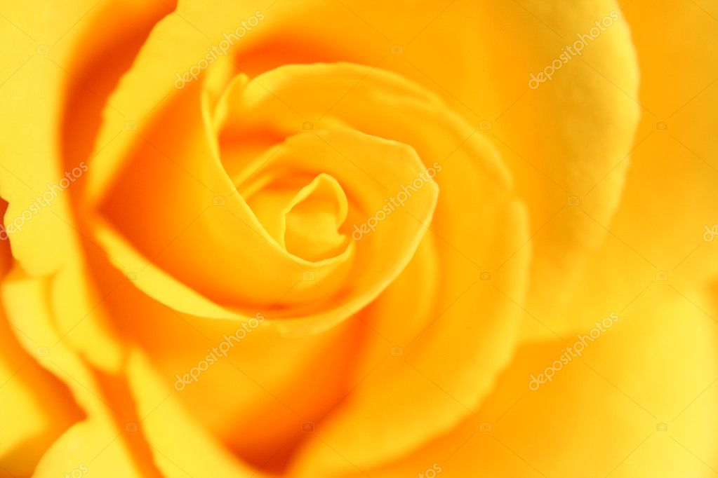 Yellow rose flower as close up
