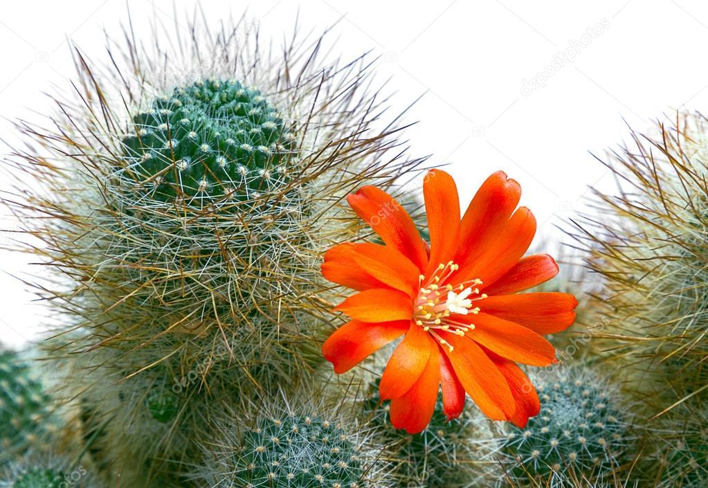 orange Kaktusblüte auf dornigen Kaktus blüht — Stockfoto © marpalusz ...