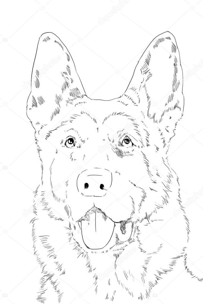 portret duitse herder stockfoto 169 gsdonlin 41941177