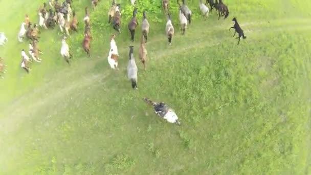 koně se pasou na louce. letní krajina. Letecký pohled