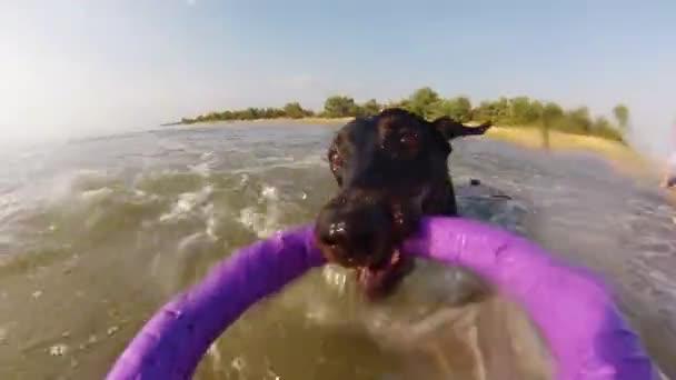 Hund mit Spielzeug im Meer schwimmen