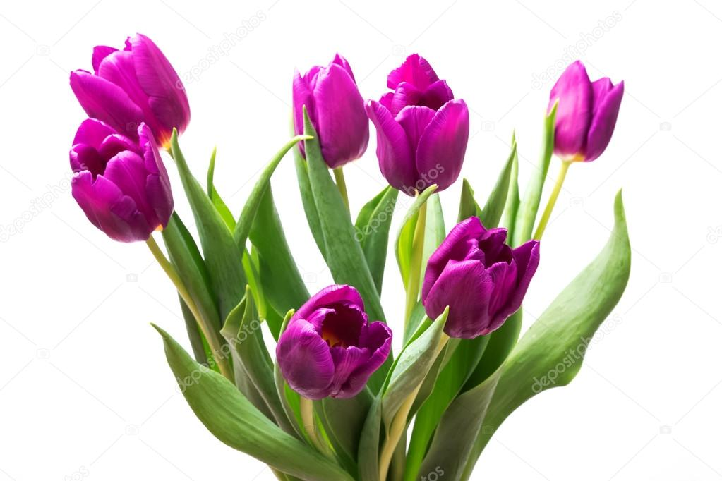 lila tulpen stockfoto chiociolla 41050603. Black Bedroom Furniture Sets. Home Design Ideas