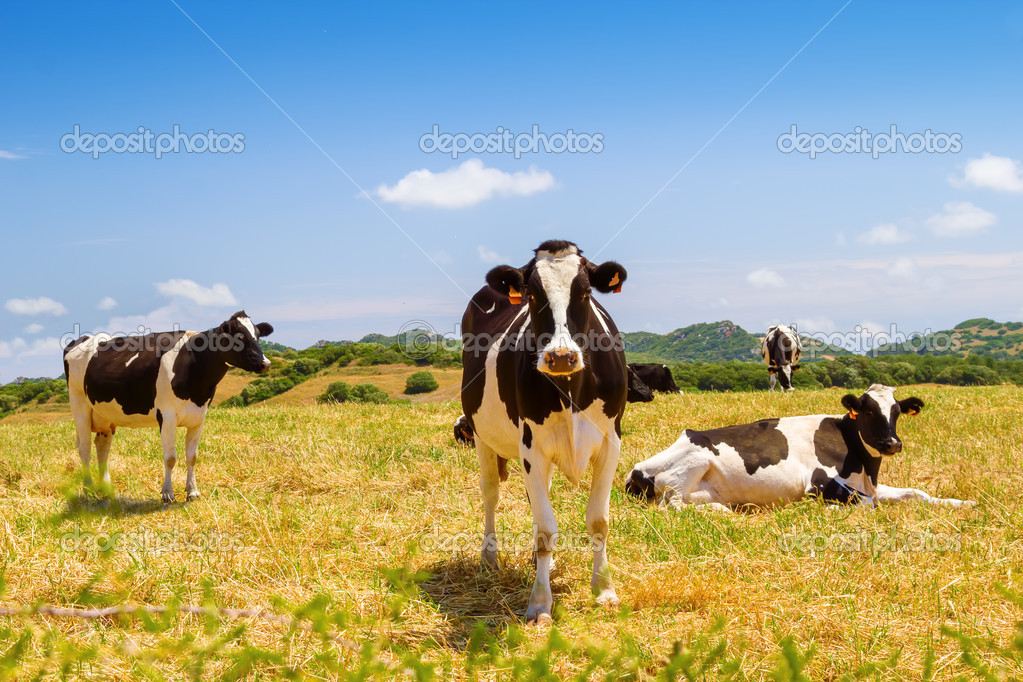 Black and white cows grazing in the farmland at Menorca, Spain.