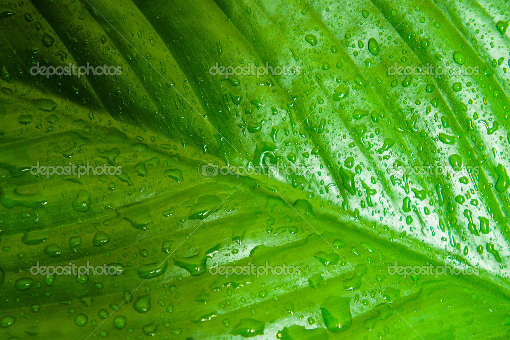 Green leaf texture with water drops