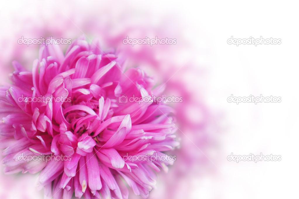 Beautiful dahlia flower.Flower design