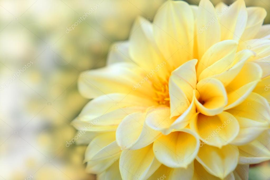 Beautiful dahlia flower.Flower design