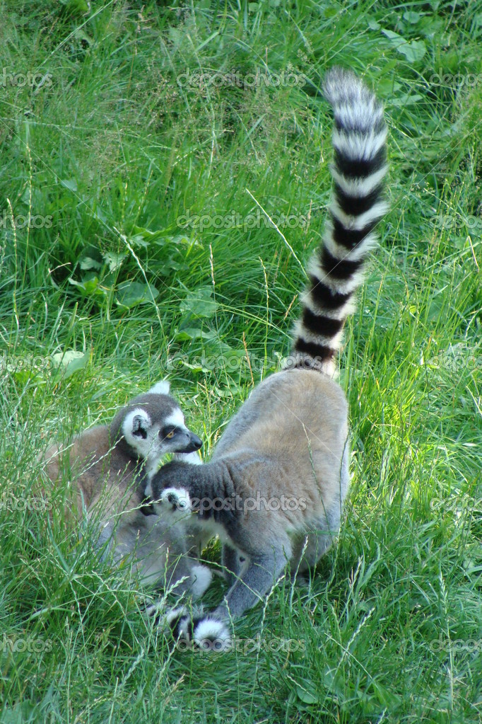 Two ring-tailed funny lemurs