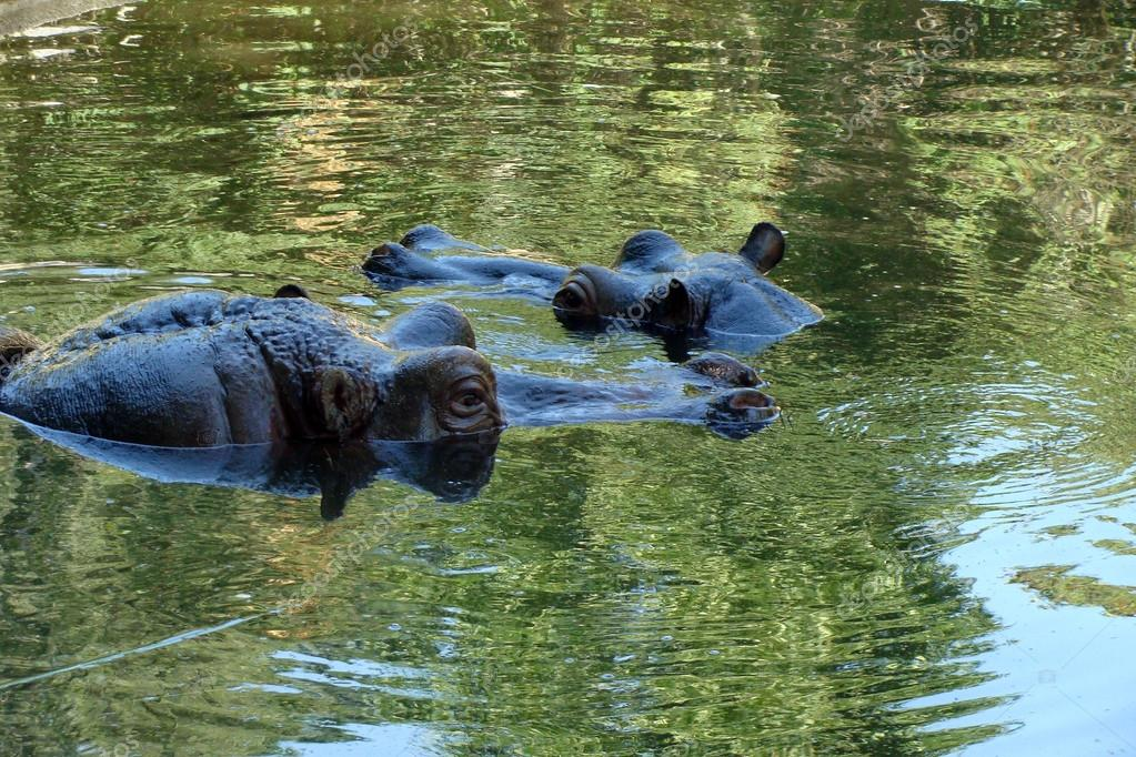 Two hippopotamuses observing from water