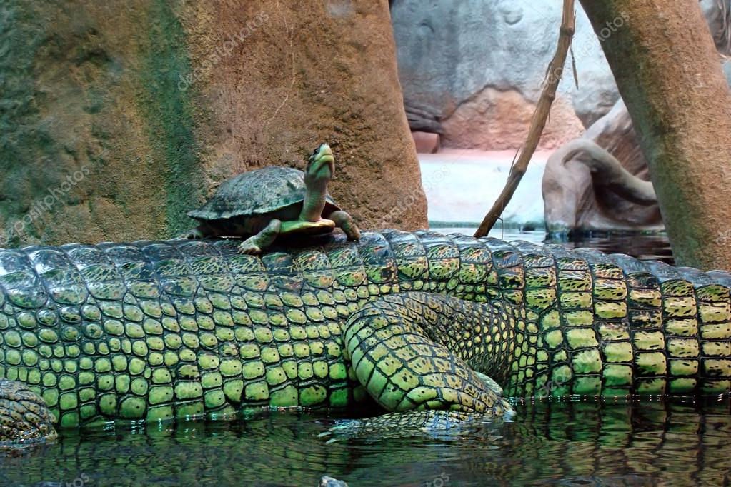 The turtle rides a back of a crocodile