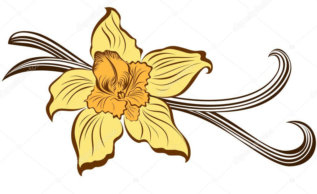 Fleur de vanille et de gousses de vanille image vectorielle marina99 19552521 - Vanille dessin ...