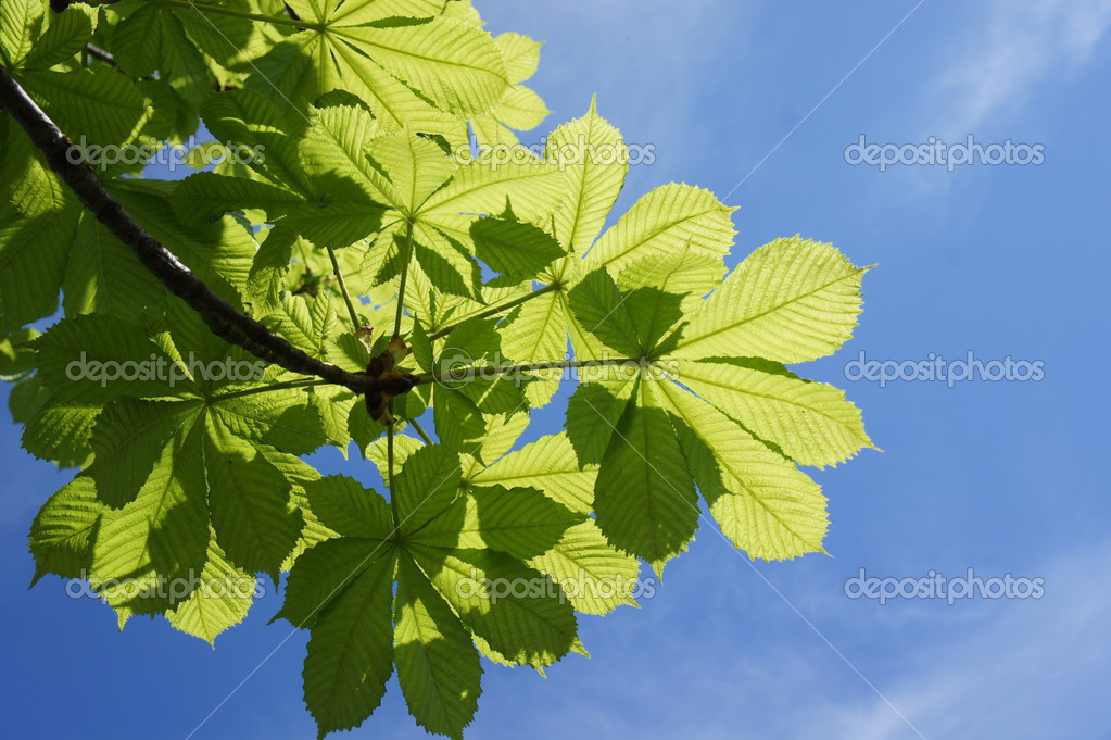 Close up of green chestnut leaves, brightly backlit against a blue sky