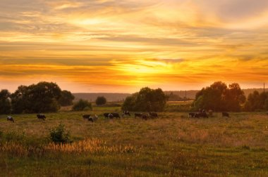 Cow herd grazes in a meadow at sunset
