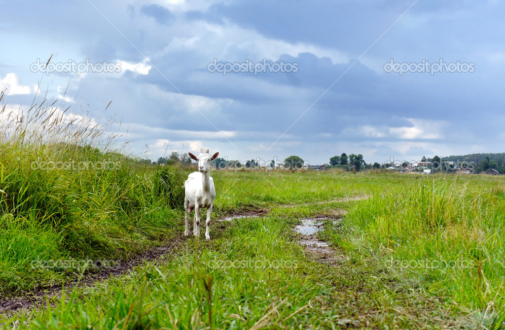 Rural landscape after rain. Goat on road in field on background
