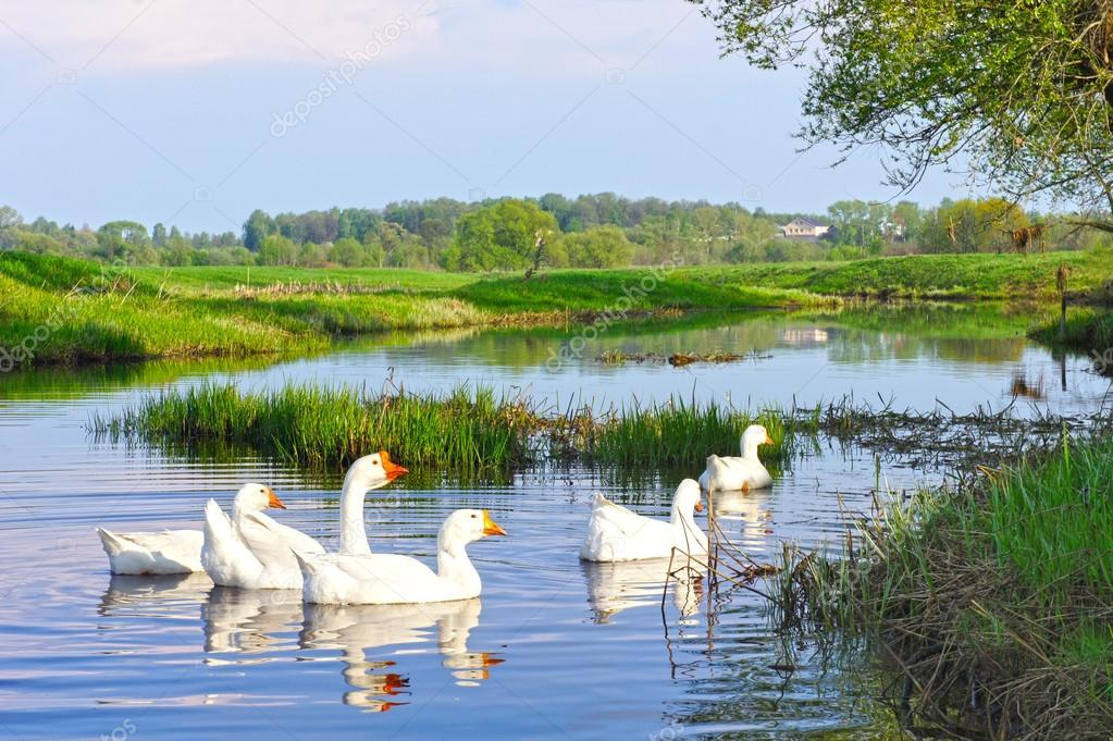 Rural summer landscape. Domestic white geese swimming in the river