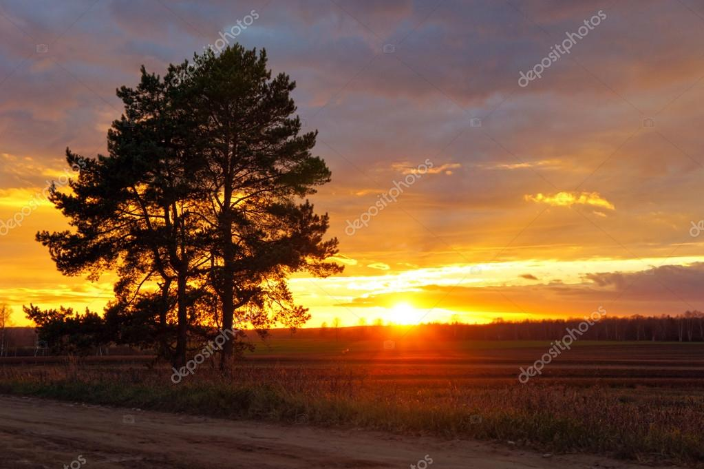 Old pine tree on field background at sunset