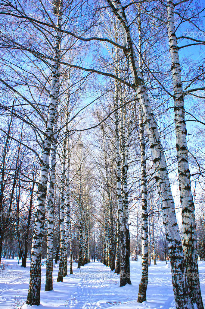 Winter park, scenery with trees Birch with covered snow branches in sunny cold day