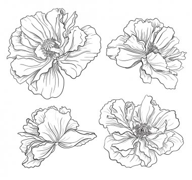 Flower hand drawn poppies