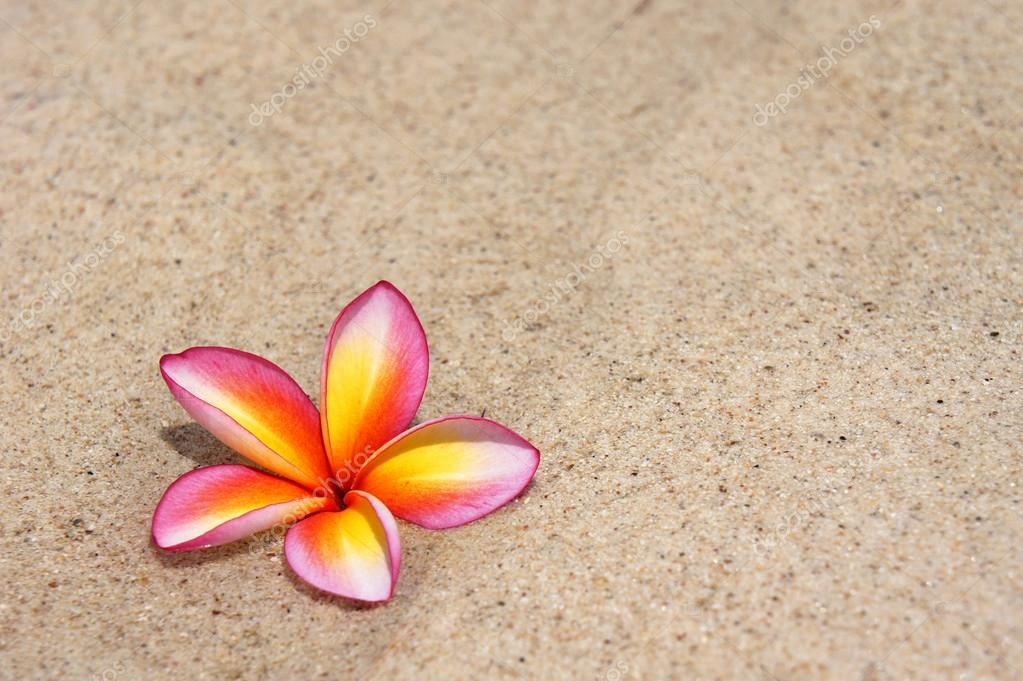 Tropical flower Plumeria alba on the sandy beach