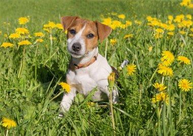 Cute beagle puppy on blooming dandelion meadow. Dog in flower field