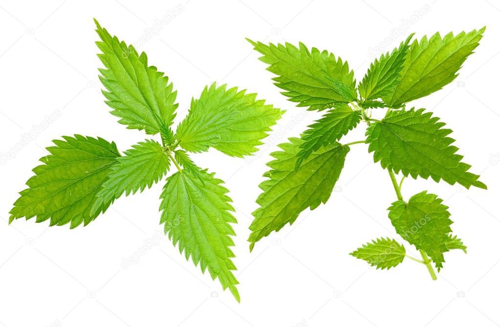 Medicinal plant. Nettle (Urtica dioica L)