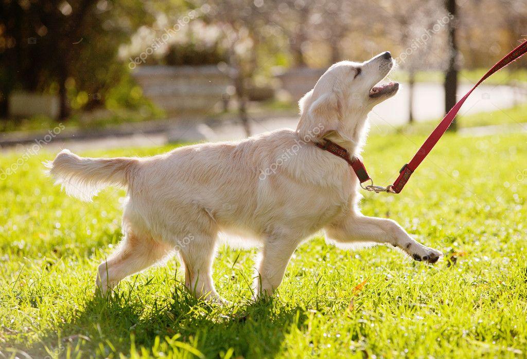 Golden Retriever Puppy Runs Stock Photo C Mari Art 16970365