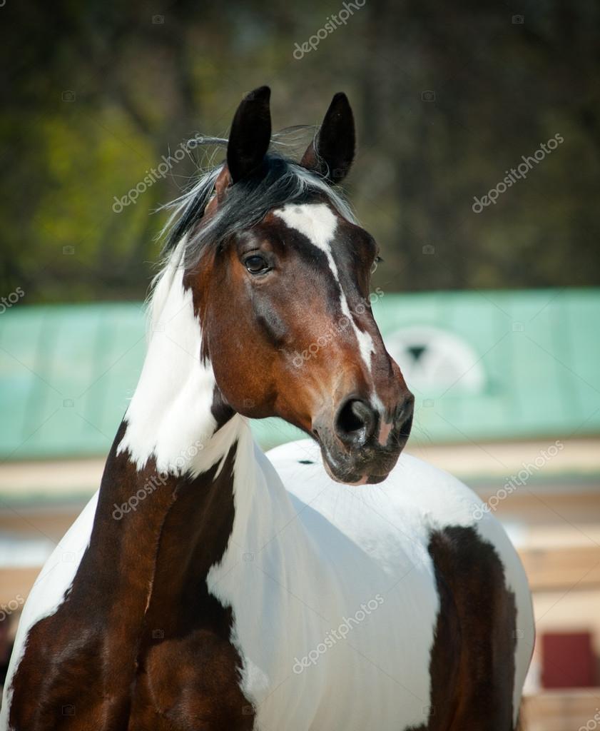 image cheval pinto