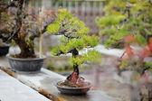 Fotografie Reihe von Bonsai-Bäumen