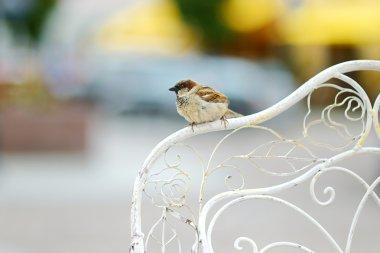 Sparrow on chair's back