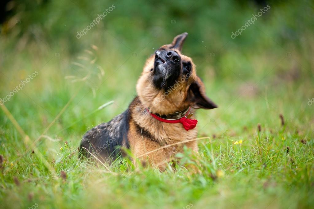 German shepherd dog shaking off head