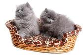 Photo british kitten