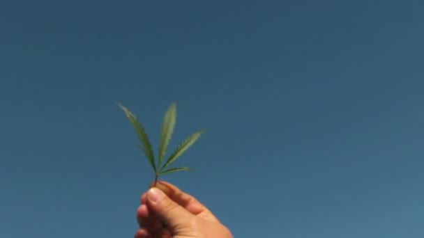 Cannabis Leaf In The Hand