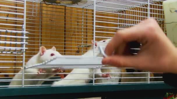 Man feeding a rats