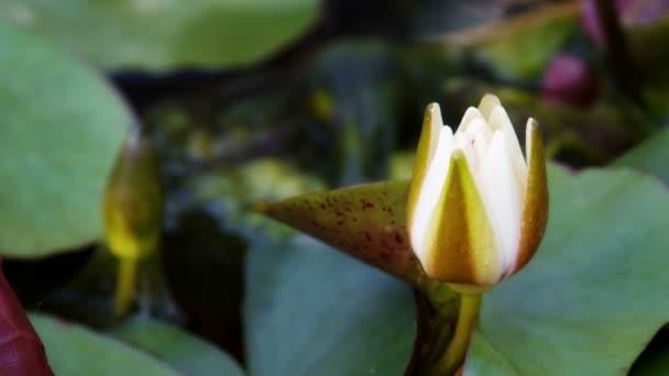 čas zanikla otevírání vody lily květina