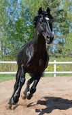 galoppa cavallo purosangue nero