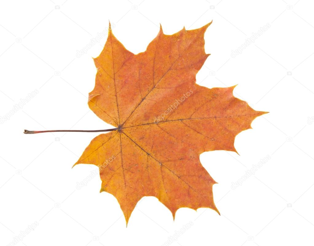 autumn leaf isolated