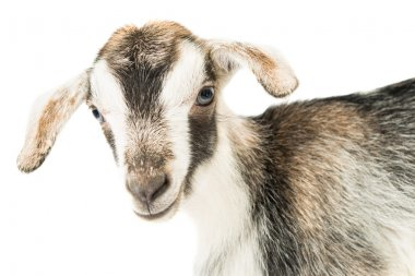 baby goat head
