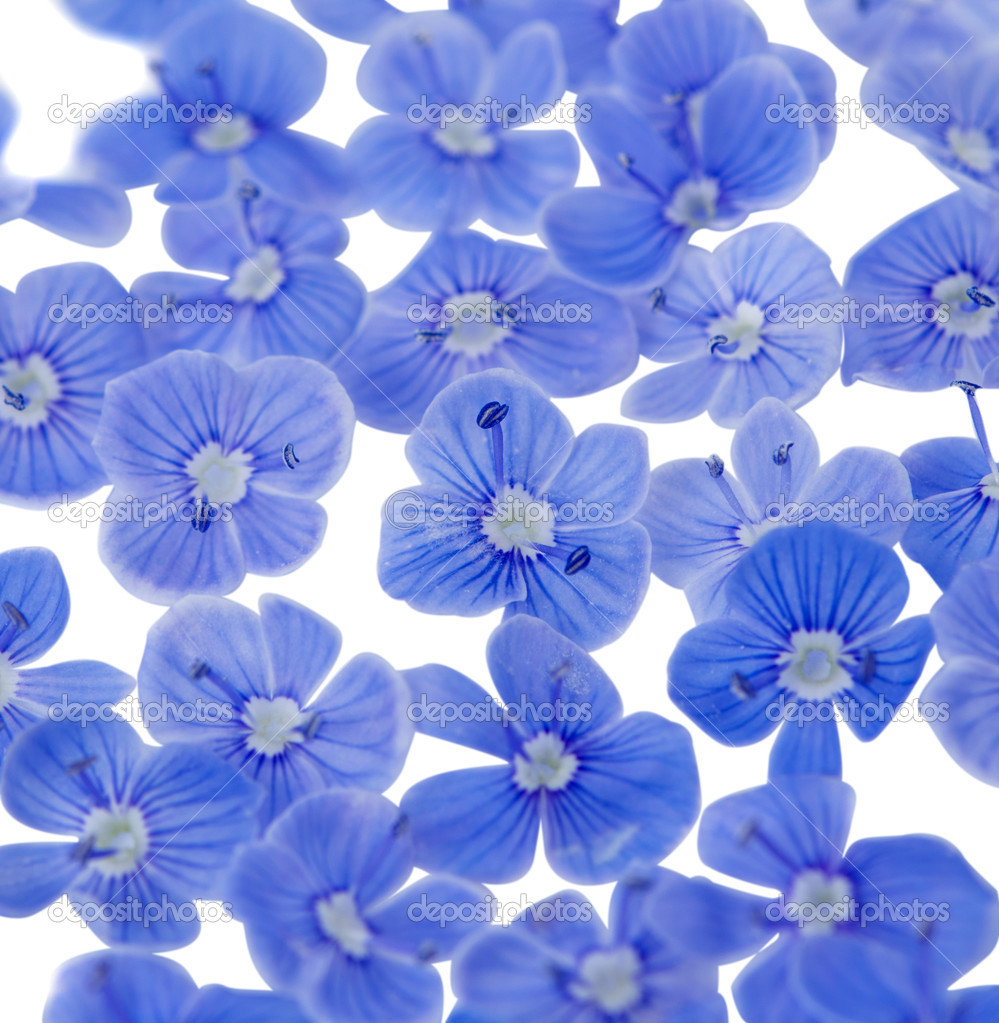Beautiful Blue Flowers Against White Background Super Macro Photo By Ksena32
