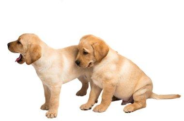 labrador puppy isolated