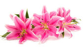 Photo pink lily isolated