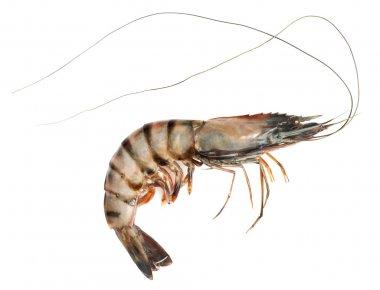 Crude prawn