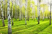 březový les s dlouhými stíny