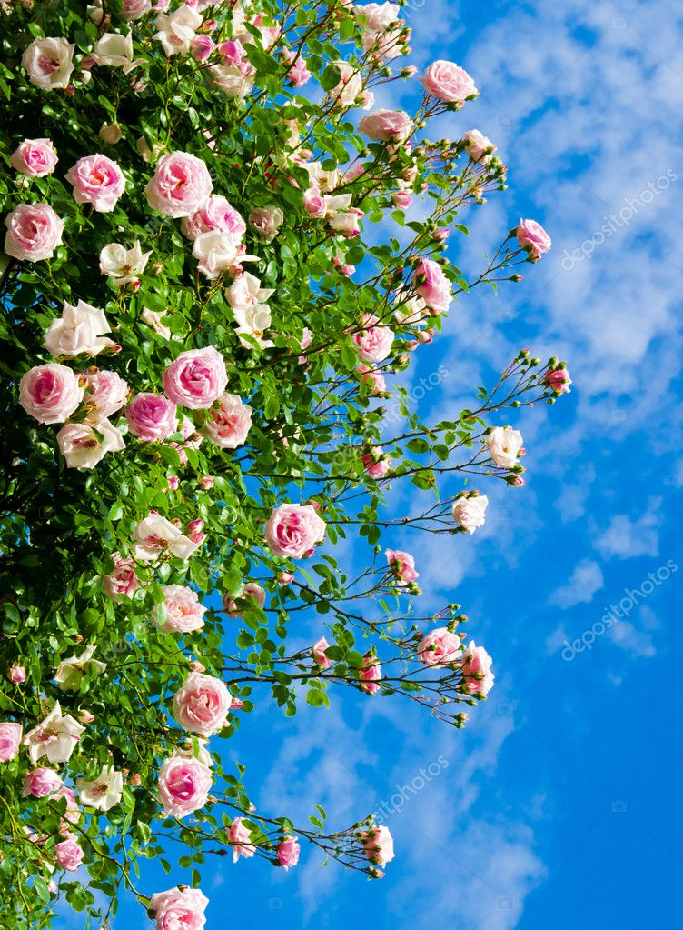 roses against blue sky.