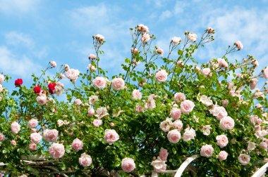 roses against blue sky.