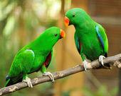 dvě zelené eclectus papoušci