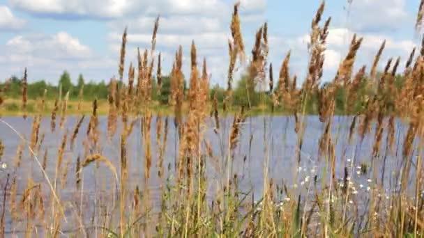 Reed na jezeře