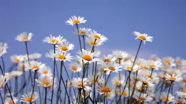 letní pole s bílé sedmikrásky na modré obloze