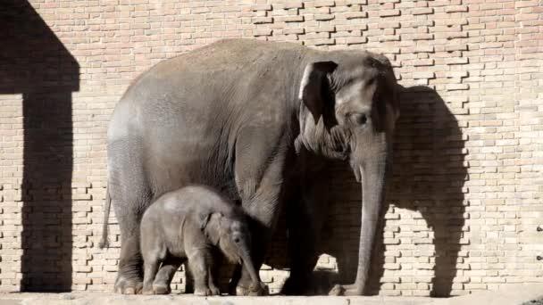 Elefánt és kis elefánt