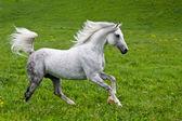 šedá Arabský kůň
