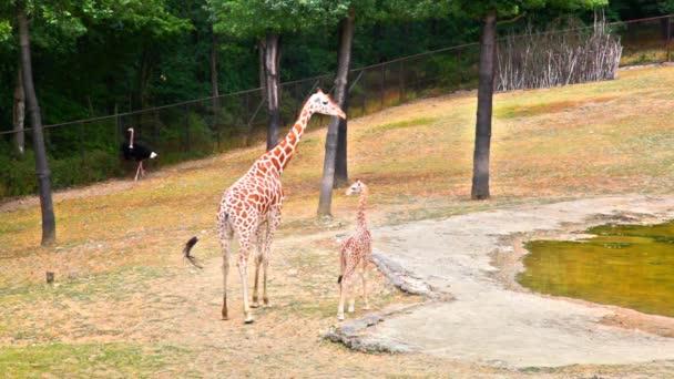 žirafa s mladými na zoo kotví