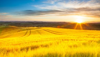 Field of ripe wheat in the rays of the rising sun.